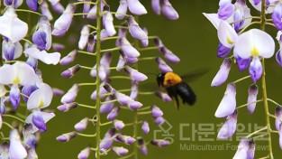 어리호박벌 유혹하는 연보랏빛 등꽃